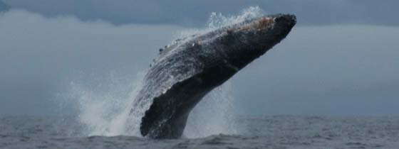 Bultrug Walvis (Humpback whale) voor de Canadese kust bij Vancouver Island