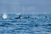 Orca's voor de kust van Vancouver Island