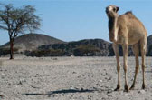 Kamelen zijn al duizenden jaren de meest betrouwbare vervoermiddelen in de woestijn