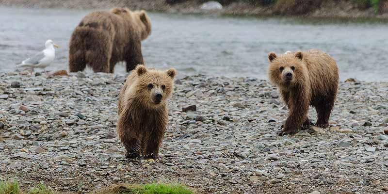 En opeens lopen daar Grizzly beren!