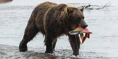 Katmai National Park. 'Big wild life' in de uitgestrekte sub-arctische wildernis