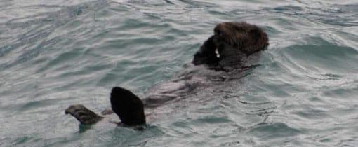Een zeeotter ligt zich in de golven te wassen