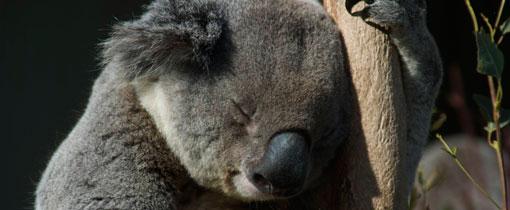 De koala slaapt zo'n 22 uur per dag en is daarmee het meest luie dier ter wereld!