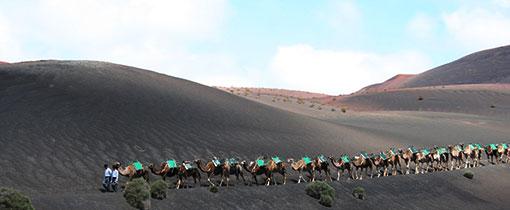 Een karavaan met kamelen op Lanzarote