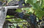 Wijnbouw op La Palma: Op kleine terrasjes tegen de rotsen worden de druiven verbouwd