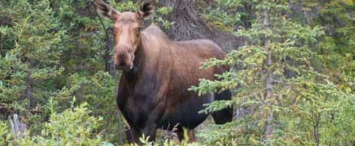 En opeens stapt er een moose de weg op!